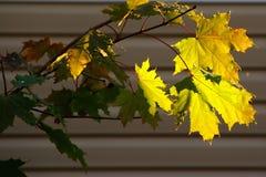 Hojas de arce amarillas en los rayos de la luz del sol imagen de archivo