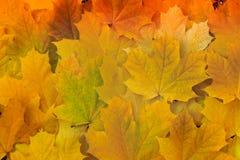 Hojas de arce amarillas hermosas en la hierba Imagen de archivo