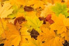 Hojas de arce amarillas hermosas en la hierba Fotografía de archivo