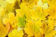 Hojas de arce amarillas hermosas en la hierba Imagenes de archivo