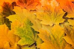 Hojas de arce amarillas hermosas en la hierba Imágenes de archivo libres de regalías