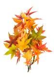 Hojas de arce amarillas verdes rojas del otoño aisladas en blanco Foto de archivo