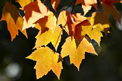 Hojas de arce amarillo-naranja Foto de archivo libre de regalías