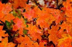 Hojas de arce anaranjadas Foto de archivo libre de regalías