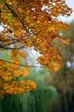 Hojas de arce anaranjadas borrosas Imágenes de archivo libres de regalías