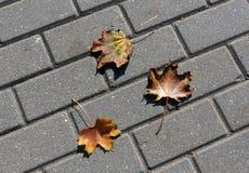 Hojas de arce anaranjadas caidas en el pavimento Fotos de archivo