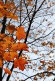 Hojas de arce anaranjadas del otoño Imagenes de archivo