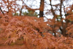 Hojas de arce anaranjadas en árboles de arce Imagenes de archivo
