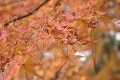 Hojas de arce anaranjadas en árboles de arce Fotografía de archivo