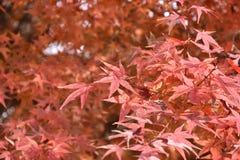 Hojas de arce anaranjadas en árboles de arce Foto de archivo libre de regalías