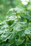 Hojas de arce bajo la lluvia Imagen de archivo libre de regalías