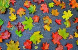 Hojas de arce caidas amarillas rojas coloridas del otoño en fondo gris Imagenes de archivo
