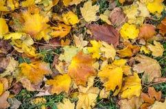 Hojas de arce caidas del otoño Imágenes de archivo libres de regalías