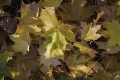 Hojas de arce caidas del otoño con el sol que los golpea fotos de archivo libres de regalías