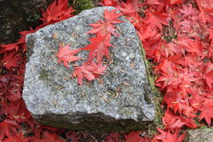 Hojas de arce caidas en otoño Fotos de archivo