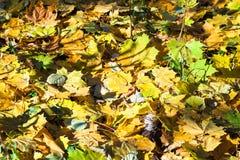 Hojas de arce caidas en tronco secado del abedul en otoño Fotos de archivo