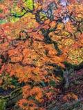 Hojas de arce coloreadas Fotos de archivo libres de regalías