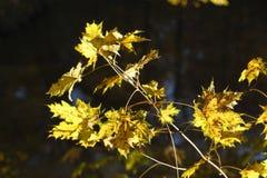 Hojas de arce coloreadas amarillo Fotos de archivo libres de regalías