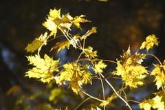 Hojas de arce coloreadas amarillo Imágenes de archivo libres de regalías