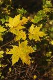 Hojas de arce coloreadas amarillo Fotos de archivo