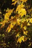 Hojas de arce coloreadas amarillo Fotografía de archivo