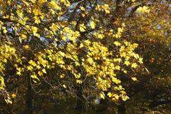 Hojas de arce coloreadas amarillo Imagenes de archivo