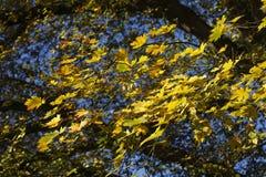 Hojas de arce coloreadas amarillo Imagen de archivo