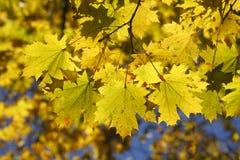 Hojas de arce coloreadas amarillo Foto de archivo libre de regalías