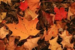 Hojas de arce coloreadas rústicas, en toda su gloria del otoño, como mienten en el suelo del bosque que aguardan triunfo Imagen de archivo libre de regalías