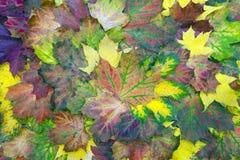 Hojas de arce coloridas Foto de archivo libre de regalías