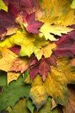 Hojas de arce coloridas durante temporada de otoño foto de archivo