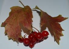 Hojas de arce con ashberry Imágenes de archivo libres de regalías