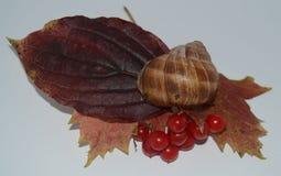 Hojas de arce con ashberry y la concha de berberecho Imágenes de archivo libres de regalías