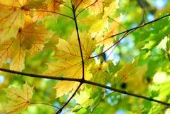 Hojas de arce de la caída del otoño Foto de archivo libre de regalías