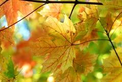 Hojas de arce de la caída del otoño Imagen de archivo libre de regalías