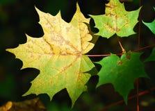 Hojas de arce de la caída del otoño Fotografía de archivo libre de regalías