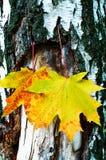 hojas de arce De oro-amarillas en la corteza del árbol de abedul. Imagenes de archivo