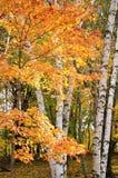 Hojas de arce del color y árboles de abedul Imágenes de archivo libres de regalías