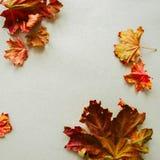 Hojas de arce del follaje en un fondo gris Imagenes de archivo