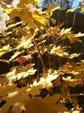 Hojas de arce del oro con sol foto de archivo libre de regalías