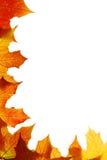 Hojas de arce del otoño Imagen de archivo libre de regalías