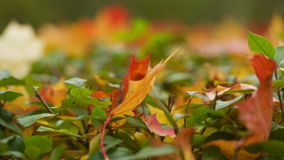 Hojas de arce del otoño metrajes