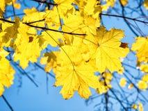 Hojas de arce del otoño contra fondo del cielo azul Fotografía de archivo