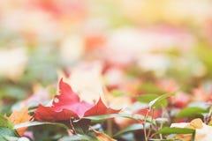 Hojas de arce del otoño en el seto verde Fotografía de archivo libre de regalías