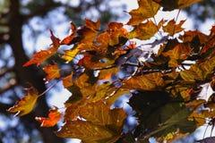Hojas de arce del otoño en la luz del sol Fotos de archivo