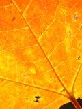 Hojas de arce del otoño del fondo Fotografía de archivo libre de regalías