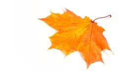 Hojas de arce del otoño la hoja del arce, usada como emblema de Foto de archivo libre de regalías