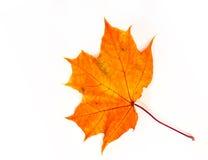 Hojas de arce del otoño la hoja del arce, usada como emblema de Fotos de archivo libres de regalías