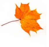 Hojas de arce del otoño la hoja del arce, usada como emblema de Fotos de archivo