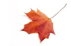 Hojas de arce del otoño la hoja del arce, usada como emblema de Foto de archivo